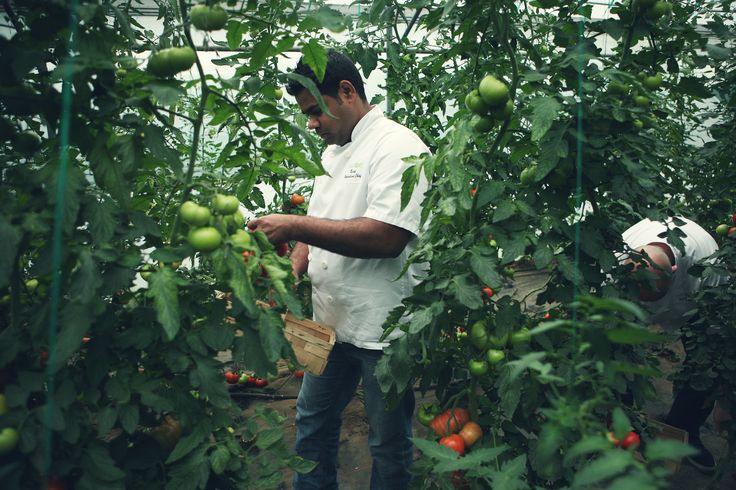 Picking tomatoes at Chegworth Valley #baxterstorey #fresh #farm #chef #local #tomato