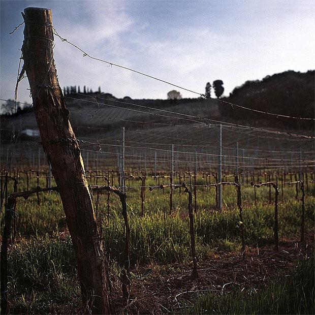 Vine in Tuscany.  © Roope Permanto   Valokuvaaja