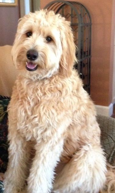 full grown mini goldendoodle - 1 year old
