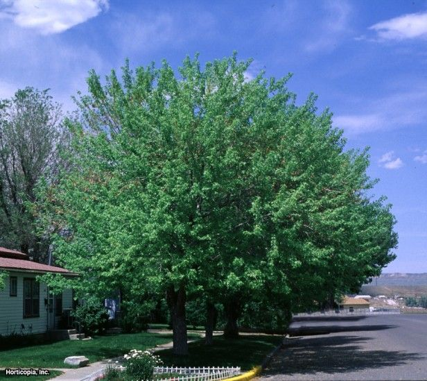 Silver Maple (Acer saccharinum)Fast growing good for our area