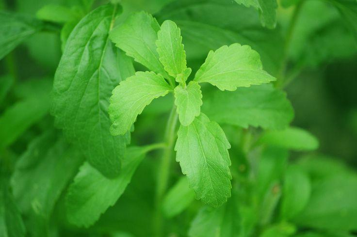 Stevia, a természetes növényi édesítőszer.