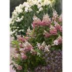Proven Winners Bobo Hardy Hydrangea (Paniculata) Live Shrub, White to Pink Flowers, 1 Gal.-HYDPRC1086101 - The Home Depot