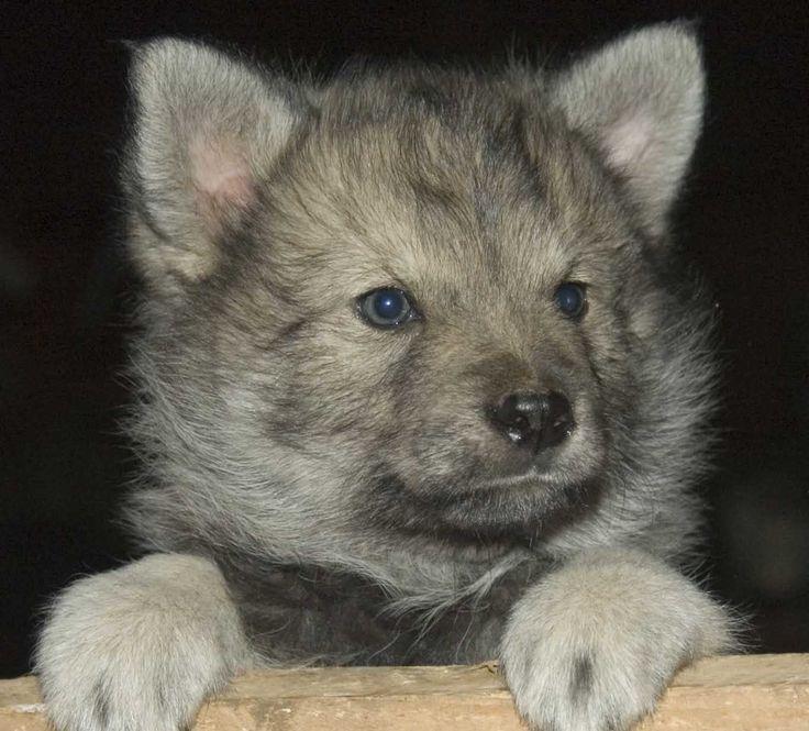 lobo bebe