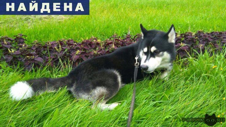 Найдена собака кобель хаски🐾 спб - фрунзенский р г.Санкт-Петербург http://poiskzoo.ru/board/read28924.html  POISKZOO.RU/28924 ст. м. Международная .. поздно вечером в парке между ул. Пражской и ул. Бухарестской был найден кобель хаски черно-белого окраса, карие глаза, возраст приблизительно от .. года до ..-х. Собака ухожена, на шее шерсть до сих пор примята от ошейника. https://vk. com/id...  РЕПОСТ! @POISKZOO2 #POISKZOO.RU #Найдена #собака #Найдена_собака #НайденаСобака #Санкт #Петербург…