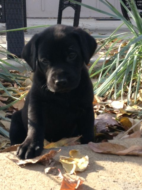 310 Best Labrador Corso Breed Board Images On Pinterest Cute Puppies Fluffy Pets And