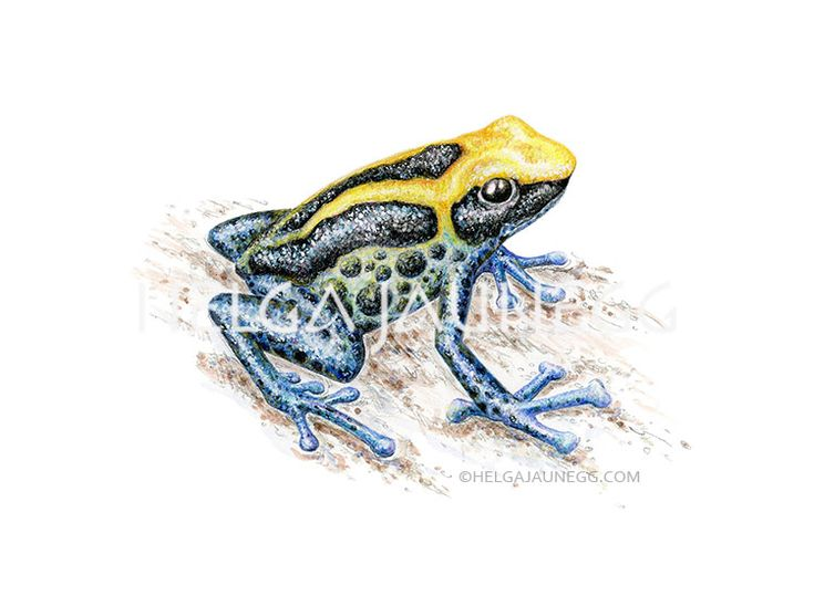 Dyeing dart frog. Colored pencil drawing by Austrian Illustrator and Artist Helga Jaunegg. http://www.helgajaunegg.com