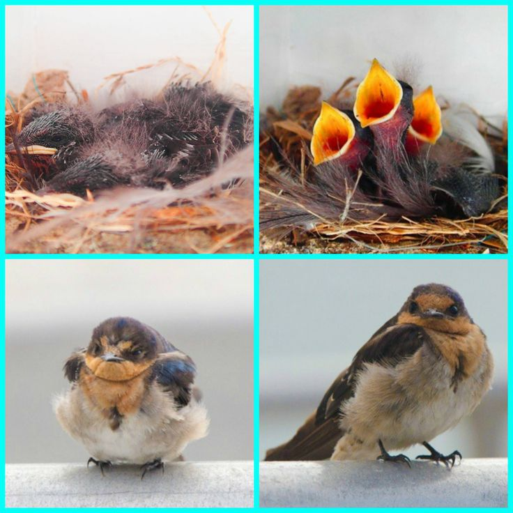 Thanks to one of our crew members Bonita she has kept an eye on the new born swallows from Broughton Island born on New Years Day. Look how big they have grown!!!! Thanks Bonita for these great images!!