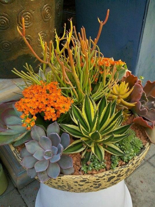 Sticks On Fire Succulents Cactus Sculptural Plants Pinterest Sticks Succulent