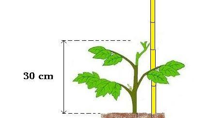 É muito importante Estacar os Tomateiros, para prevenir pragas e a podridão do tomate. Este processo permite um melhor desempenho dos tomateiros.