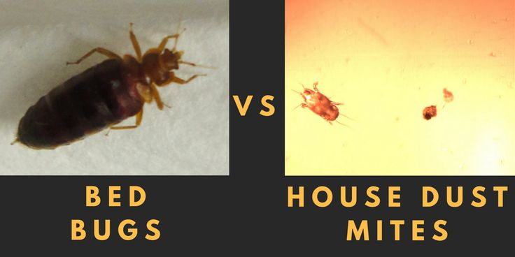 bed bugs house dust mites what 39 s the difference bed bugs pinterest. Black Bedroom Furniture Sets. Home Design Ideas