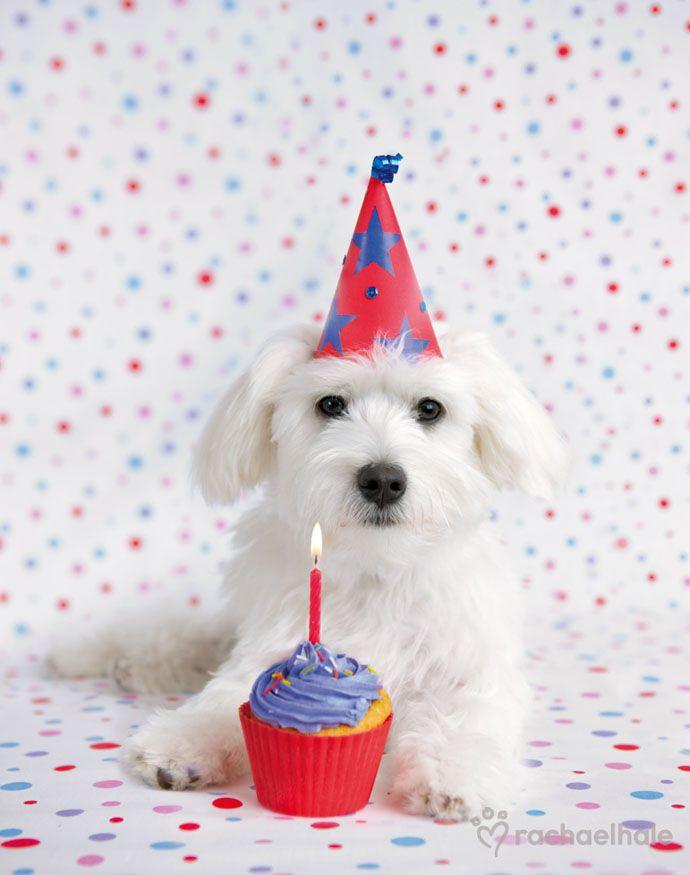 Нежному, картинка с днем рождения собака бишон