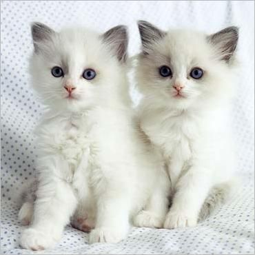 softies: Cute Baby, Kitty Cat, Sweet, Animal Photo, Cute Kitty, White Cats, Little Animal, Persian Cat, White Kittens