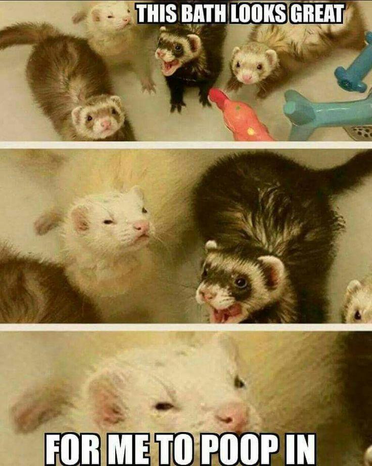 27 Extremely Funny Ferret Memes In 2020 Frettchen Kleine Haustiere Haustiere