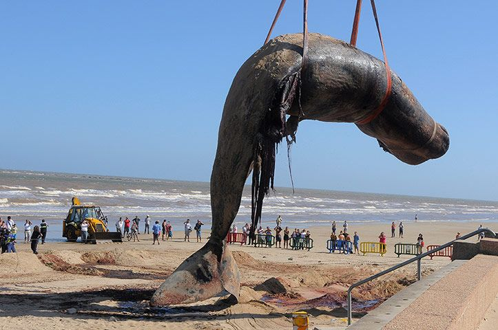 Photo: A crane lifts the carcass of a sperm whale washed ashore on Carrasco beach. Credit: AP Montevideo, Uruguay