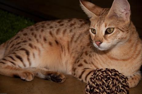 savannah cat3 Savannah Cat: The Cat That Thinks Its A Dog