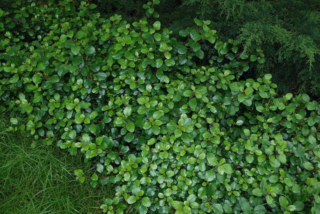 Ribes viburnifolium - Evergreen currant