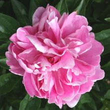 Peony for sale buy Paeonia 'Lake of Silver'