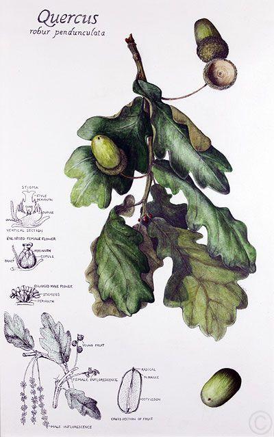 Botanical illustration of oak leaves and acorns by Ruth de Monchaux