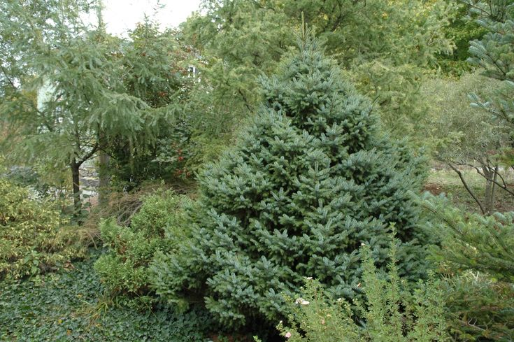 Dwarf Serbian Spruce's short, glossy green needles are tinged bluish white on the underside, forming a dense, globe-shaped mound. Slow, reaches up to 8 ft. tall and wide in 10 years. Zone: 4 – 7  Use:  Accent specimen, hedge or tall border, patio tree.