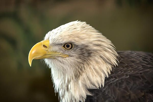 Columbia, an adult female bald eagle, came to the National Eagle Center in 2003 as a juvenile. She hatched in the spring of 2001.