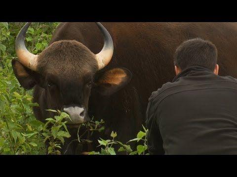 ▶ Worlds Biggest Wild Cows - Dangerous Gaur of India - YouTube