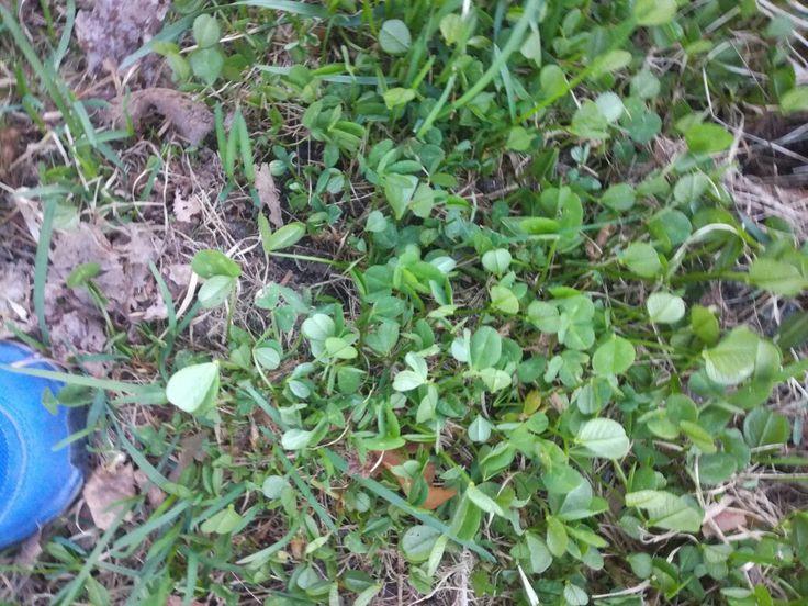 Apila (trifolium) tienpientare 19.5