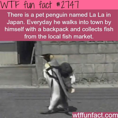 La La, the cute pet penguin in Japan - WTF fun facts ~ I want a pet penguin (to add to my critter menagerie!)