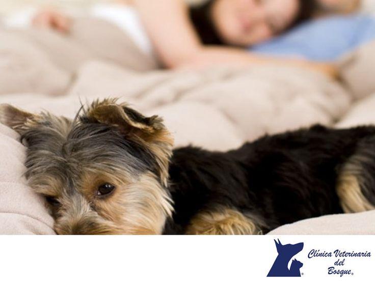 https://flic.kr/p/RDzD9J   Mi perro no duerme. Puede tener insomnio. CLÍNICA VETERINARIA DEL BOSQUE 2   Mi perro no duerme ¿Puede tener insomnio? LA MEJOR CLÍNICA VETERINARIA DE MÉXICO. El insomnio también afecta a nuestras mascotas, ya sea por el ruido, enfermedad, temperatura ambiental (exceso de calor o frío), falta de ejercicio o que haya comido demasiado o fuera de las horas acostumbradas. En Clínica Veterinaria del Bosque te invitamos a comunicarte con nosotros al teléfono 5360 3311…