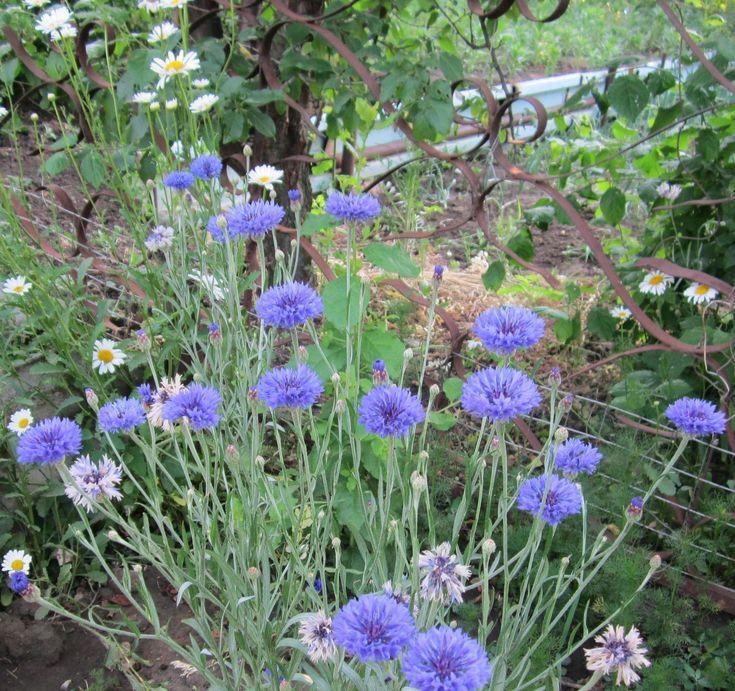 Садоводы ценят множество цветов, которые можно без проблем высадить в саду и тем самым украсить территорию. В их числе и васильки - замечательные, радужные цветы, видов которых, благодаря селекционерам, стало довольно много.