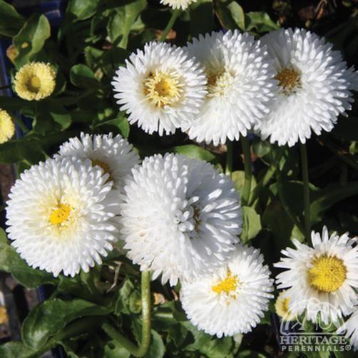 WANT: Bellis perennis 'Tasso White'