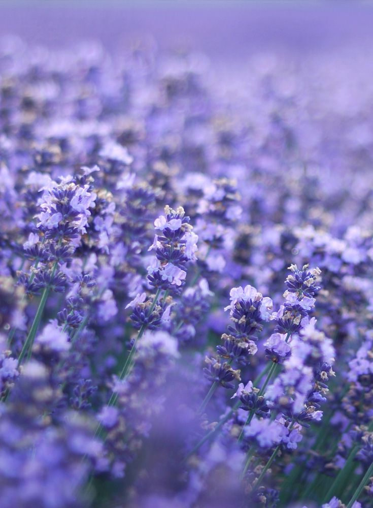 Lavender - Goddess Garden uses lavender essential oils in most of our sunscreens. Lavender gives our sunscreen its wonderful fragrance, but this lovely plant also is a strong anti-inflammatory that is good for minor burns, insect bites, and stings! We love our lavender!