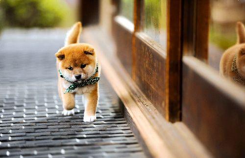 shiba puppy, Mamesuke