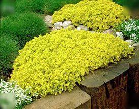 Лучшие многолетники.Очиток (Sedum) примечателен тем, как он способен украшать сад не только осенью, но и даже зимой.  Цветки очитков, красных и розовых оттенков, собранные в соцветия, начинают распускаться в конце августа. Очиткам необходимы солнечные участки и песчаные почвы.  Рекомендуемые сорта: 'Herbstfreude' (высота 40 см.), 'Matrona' (высота 60 см., листья с бронзовым оттенком).