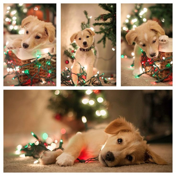 Pictures of your puppy wrapped in lights for their first Christmas with you! #nataliekunkelphotography