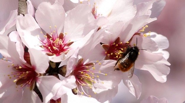 How California Almonds Are Killing Bees  http://www.honeycolony.com/article/california-almonds-killing-bees/  California's almond groves are blamed for a new and massive honeybee die-off. So what do almond trees have to do with honeybees?  #Almonds #AlmondTrees #honeybees #Savethebees #honeycolony