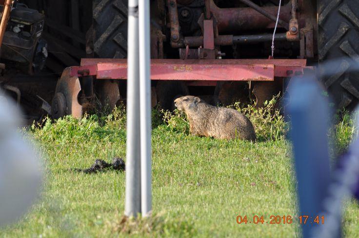 Ground hog trying to hide groundhog animals hog