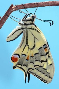 "sweetaspineapple:  ""Old World Swallowtail Butterfly (Papilio machaon) - photographer Laura Lago Fernandez  """