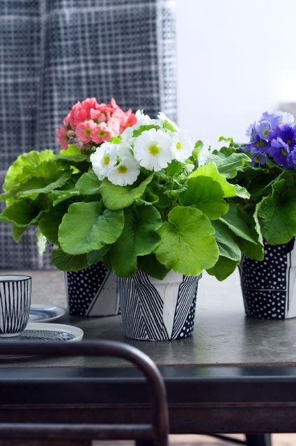 Bijna lente! De Primula past prima bij dat leuke vooruitzicht, want deze kamerplant is het voorjaar in een potje met haar bonte bloemen. Een zelfgemaakte zwart-witte pot zorgt ervoor dat haar bloemen nog meer knallen!