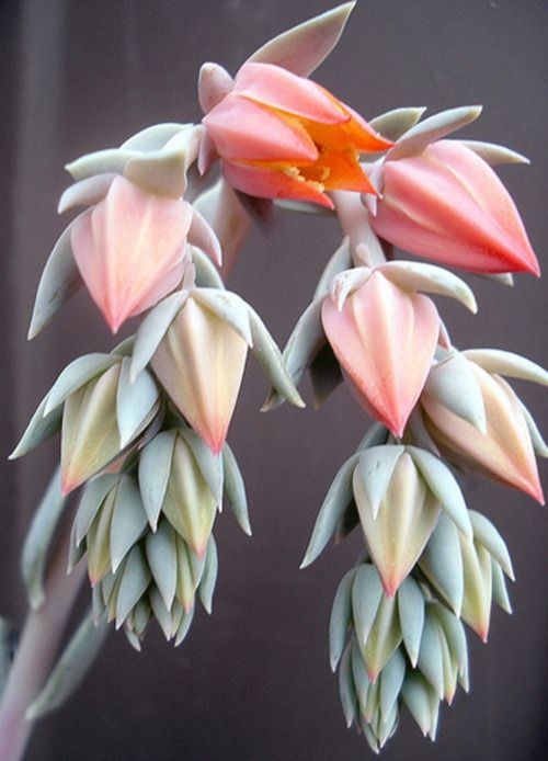 The Flowers of Hen and Chick Succulent Plant