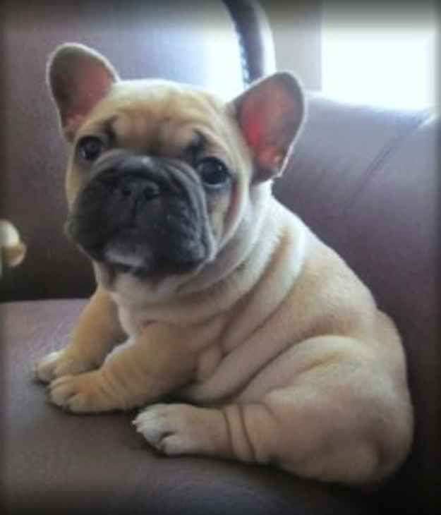 """""""Maybe she's born with it, maybe it's...the wrinkles.""""   The Most Scrumptiously Wrinkly Dogs On The Internet"""