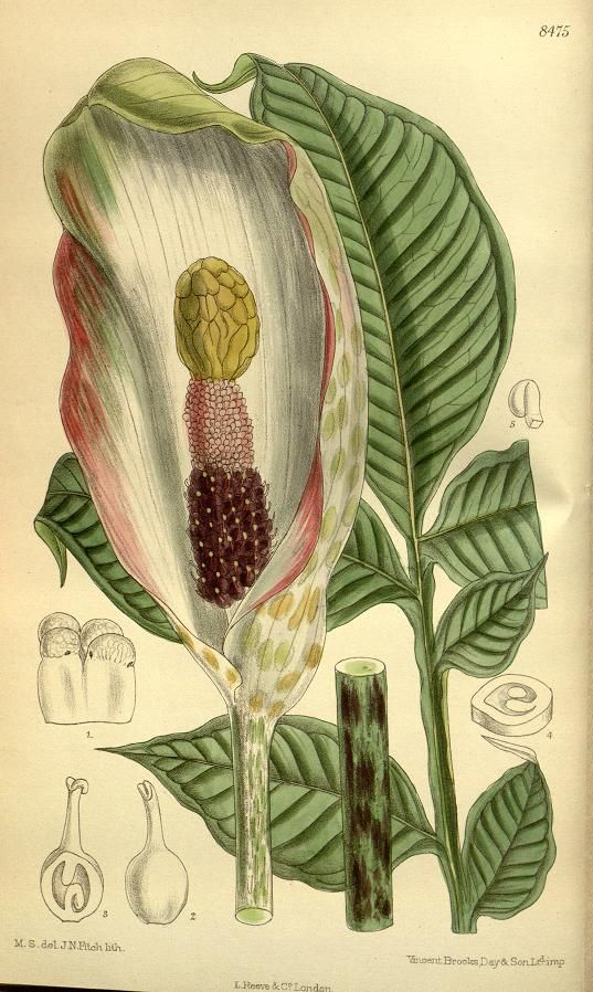 Curtis's botanical magazine.