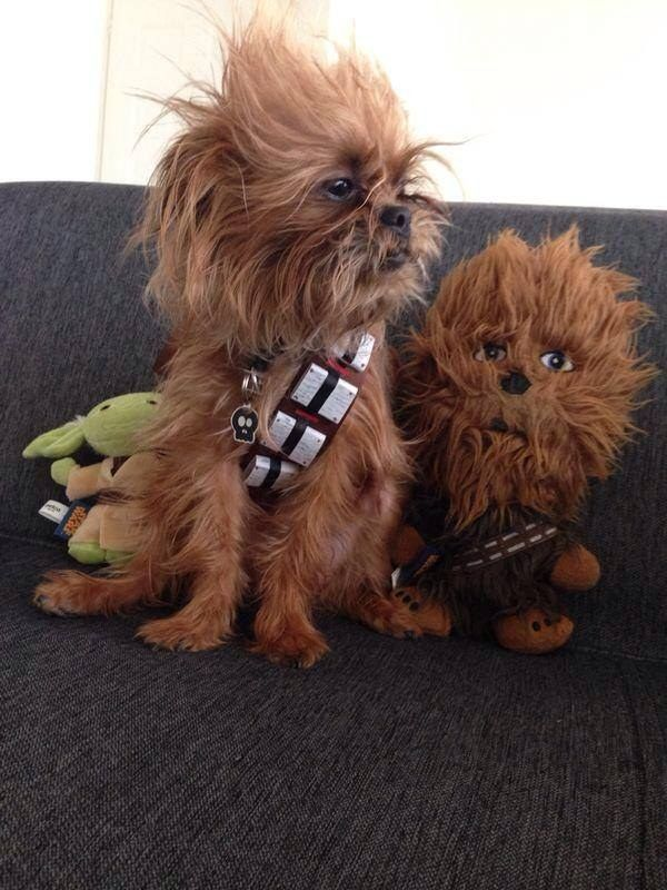 """This extremely accurate Chewbacca.   19 Dogs Dressed As Your Favorite """"Star Wars"""" Characters"""