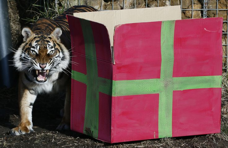 Sumatran tiger Melati walks past a present box to celebrate the first birthday of her cub triplets in their enclosure at London Zoo in London.