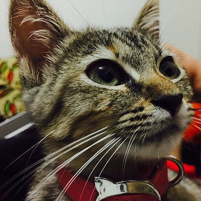 Charm Red Cat Collar