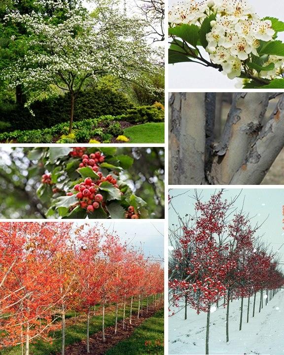 Small Ornamental Trees For Kansas: 121 Best Ornamental Trees Images On Pinterest
