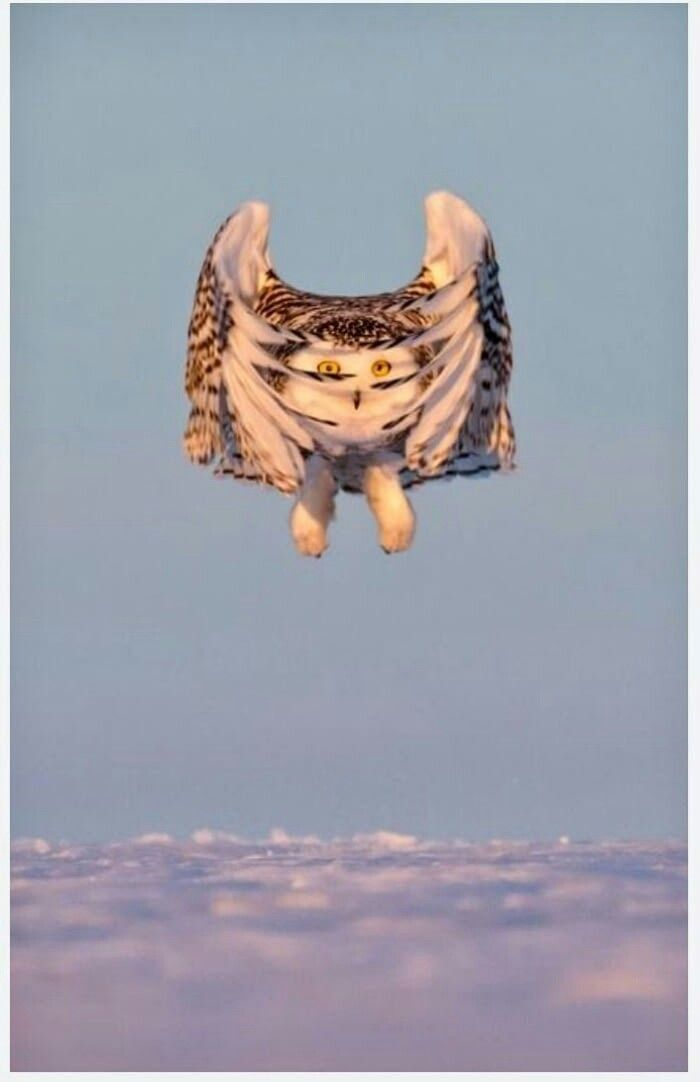 Bird: Owl (Strigiformes)