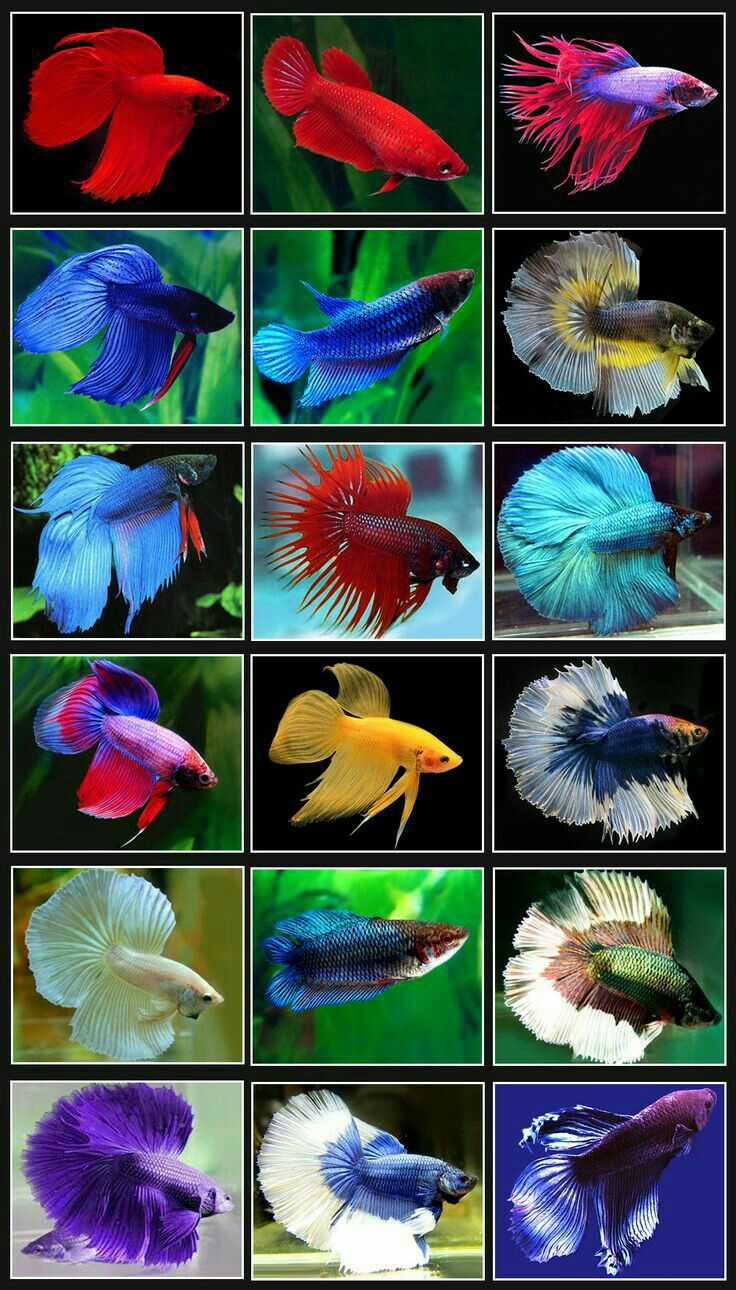 114 best Betta Fish images on Pinterest | Betta, Beautiful fish and ...