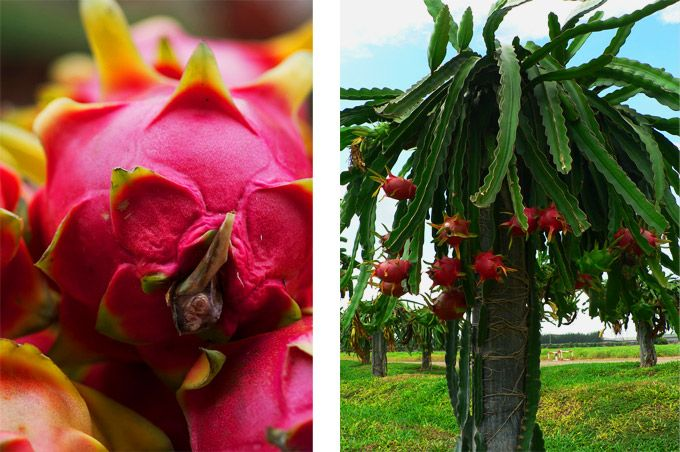 list of healthy fruits dragon fruit plant