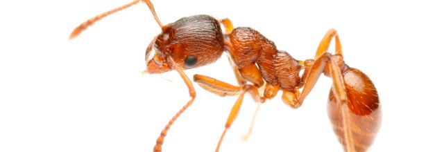The pharaoh ant (Monomorium pharaonis) is a small (2 mm) yellow or light brown, almost transparent ant notorious for being a major indoor nuisance pest, especially in hospitals.[1] The pharaoh ant, whose origins are unknown, has now been introduced to virtually every area of the world, including Europe, the Americas, Australasia and Southeast Asia. This species is polygynous, meaning each colony contains many queens, leading to unique caste interactions and colony dynamics. This also allows…