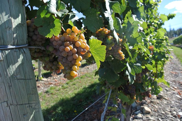 The wine harvest in Kelowna begins in late September and into October.  A highlight for wine lovers are the annual seasonal festivals.  Visit www.Thewinefestivals.com and your favorite winery. www.kelownainnandsuites.com/